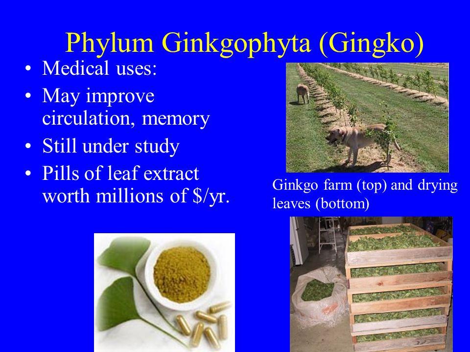 Phylum Ginkgophyta (Gingko) Medical uses: May improve circulation, memory Still under study Pills of leaf extract worth millions of $/yr. Ginkgo farm