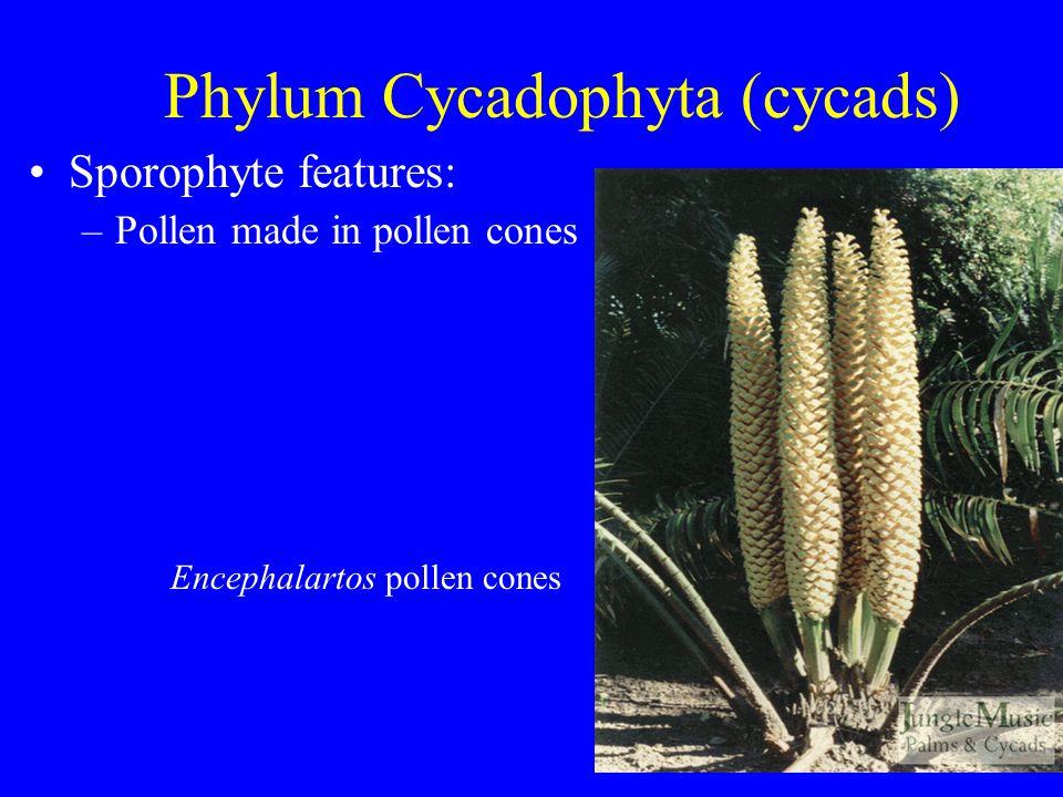 Phylum Cycadophyta (cycads) Sporophyte features: –Seeds made in seed cones Megasporophylls of Cycas Ovule-bearing leaf (megasporophyll) of cone Encephalartos female cone