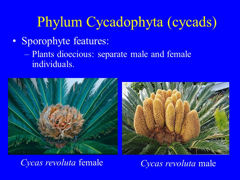 Phylum Cycadophyta (cycads) Sporophyte features: –Plants dioecious: separate male and female individuals. Cycas revoluta female Cycas revoluta male