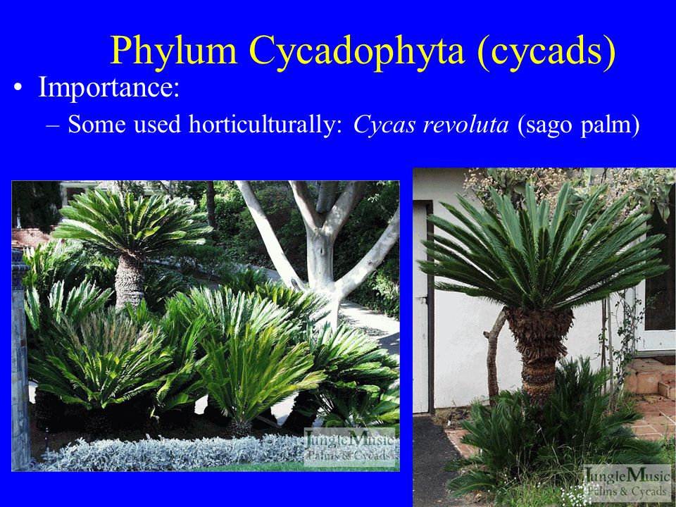 Phylum Cycadophyta (cycads) Importance: –Some are endangered in the wild –Example: South Africa has 40 species, all endangered