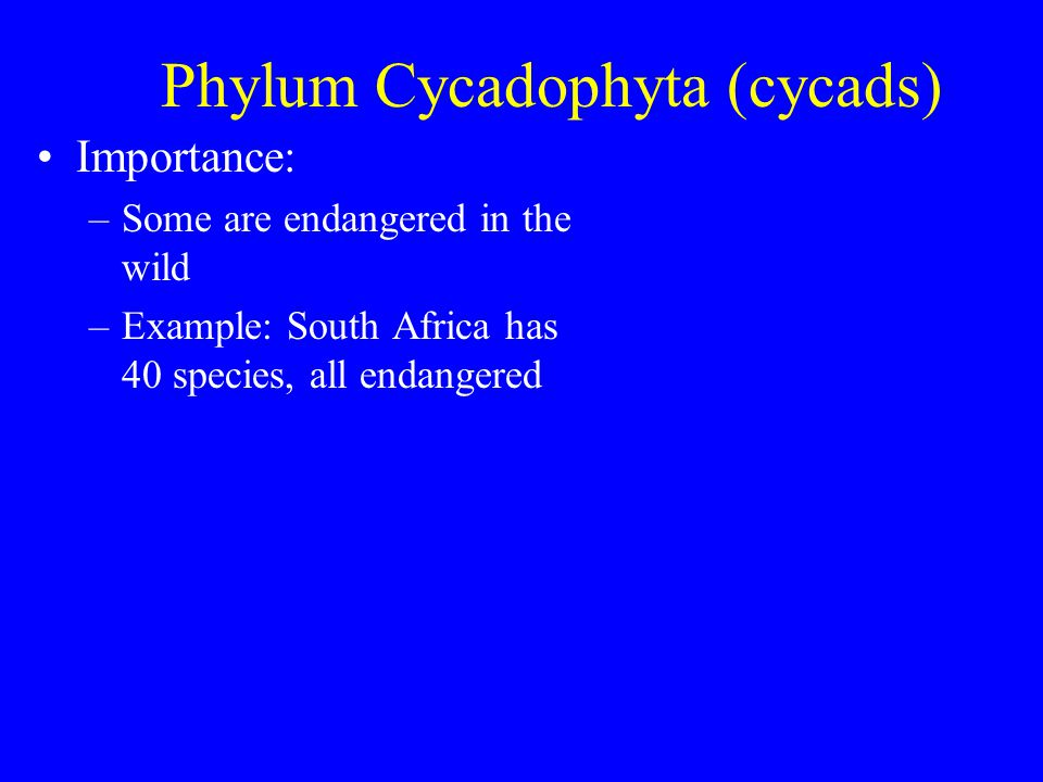 Phylum Cycadophyta (cycads) Importance: –Since 1965, must have permit to own cycad in South Africa –One species extinct in wild.