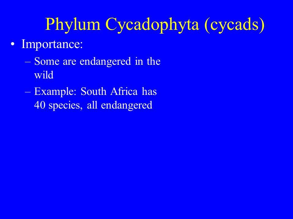 Phylum Coniferophyta (conifers) Importance: –Sequoiadendron gigantea (big tree)