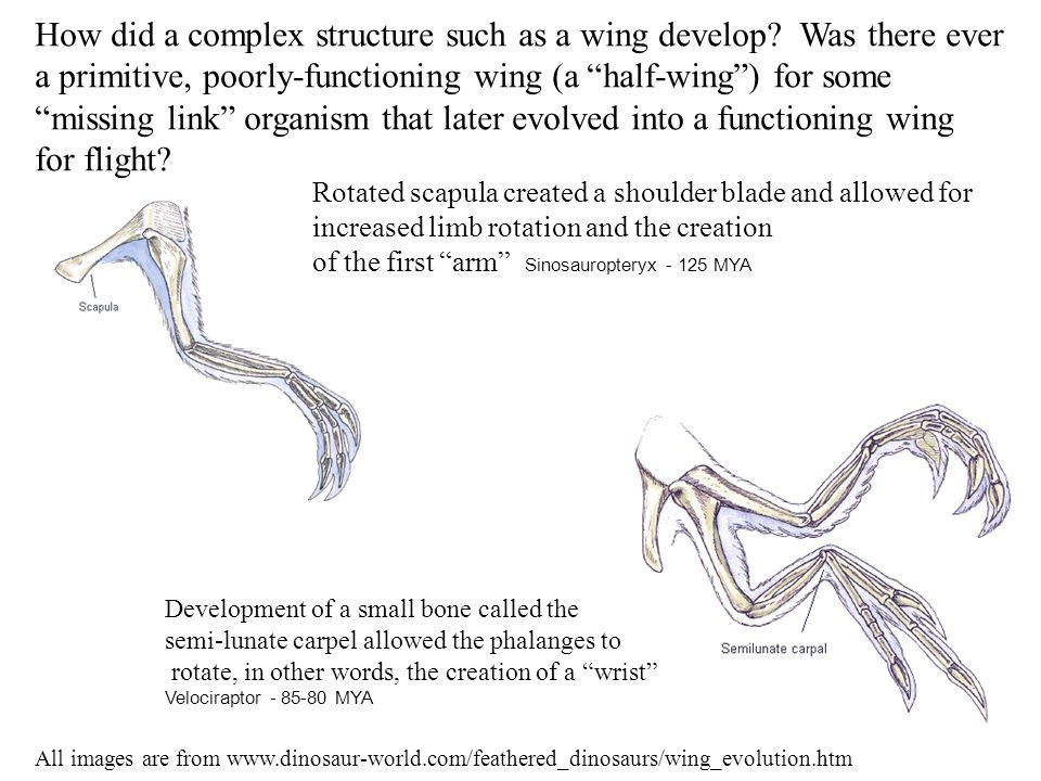 "How did a complex structure such as a wing develop? Was there ever a primitive, poorly-functioning wing (a ""half-wing"") for some ""missing link"" organi"