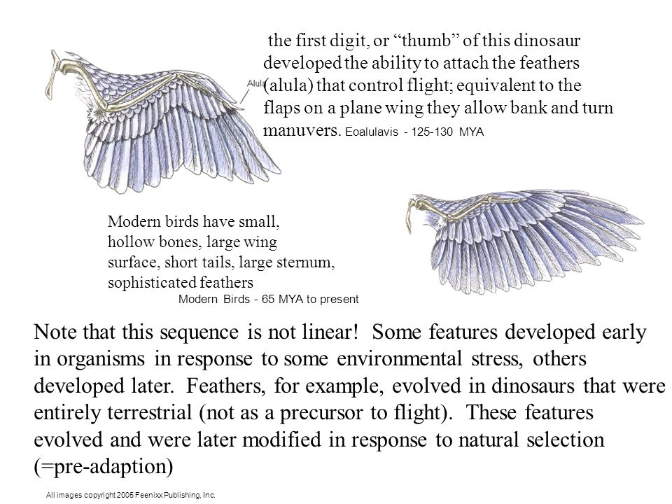 "the first digit, or ""thumb"" of this dinosaur developed the ability to attach the feathers (alula) that control flight; equivalent to the flaps on a pl"