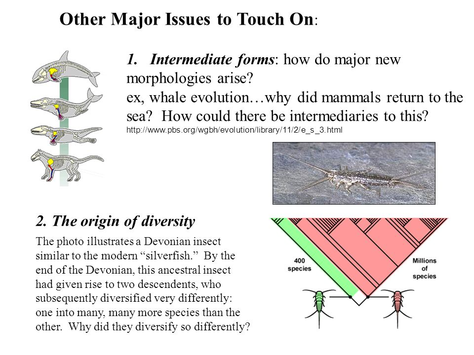 Other Major Issues to Touch On : 1.Intermediate forms: how do major new morphologies arise? ex, whale evolution…why did mammals return to the sea? How