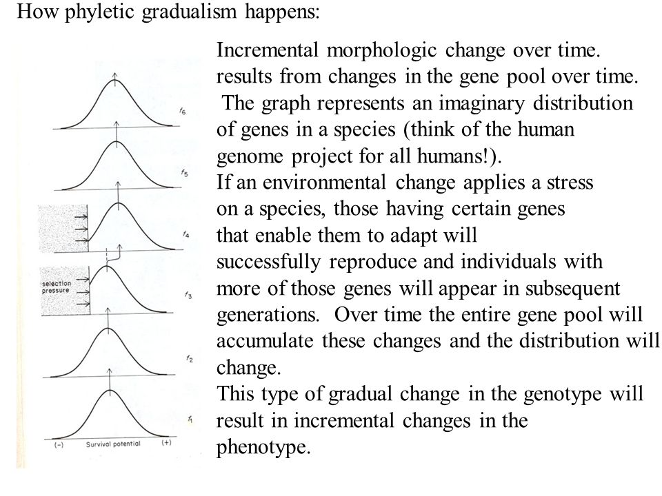 Incremental morphologic change over time. results from changes in the gene pool over time. The graph represents an imaginary distribution of genes in
