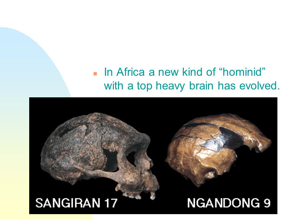 n In Africa a new kind of hominid with a top heavy brain has evolved.