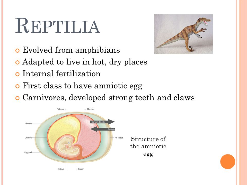 R EPTILIA Evolved from amphibians Adapted to live in hot, dry places Internal fertilization First class to have amniotic egg Carnivores, developed str