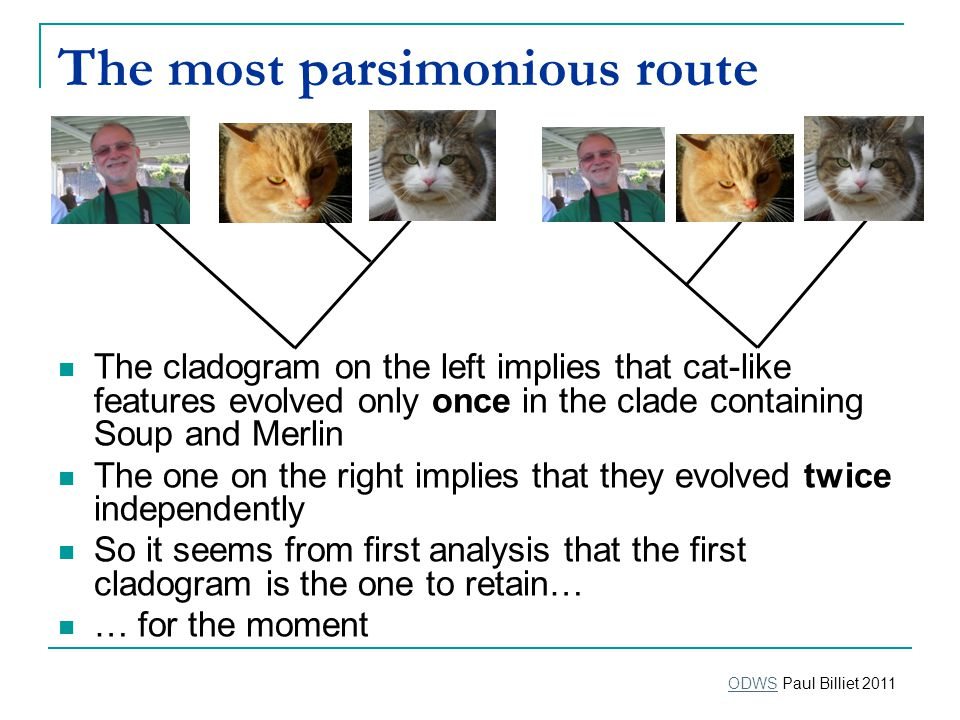 The most parsimonious route The cladogram on the left implies that cat-like features evolved only once in the clade containing Soup and Merlin The one on the right implies that they evolved twice independently So it seems from first analysis that the first cladogram is the one to retain… … for the moment ODWSODWS Paul Billiet 2011