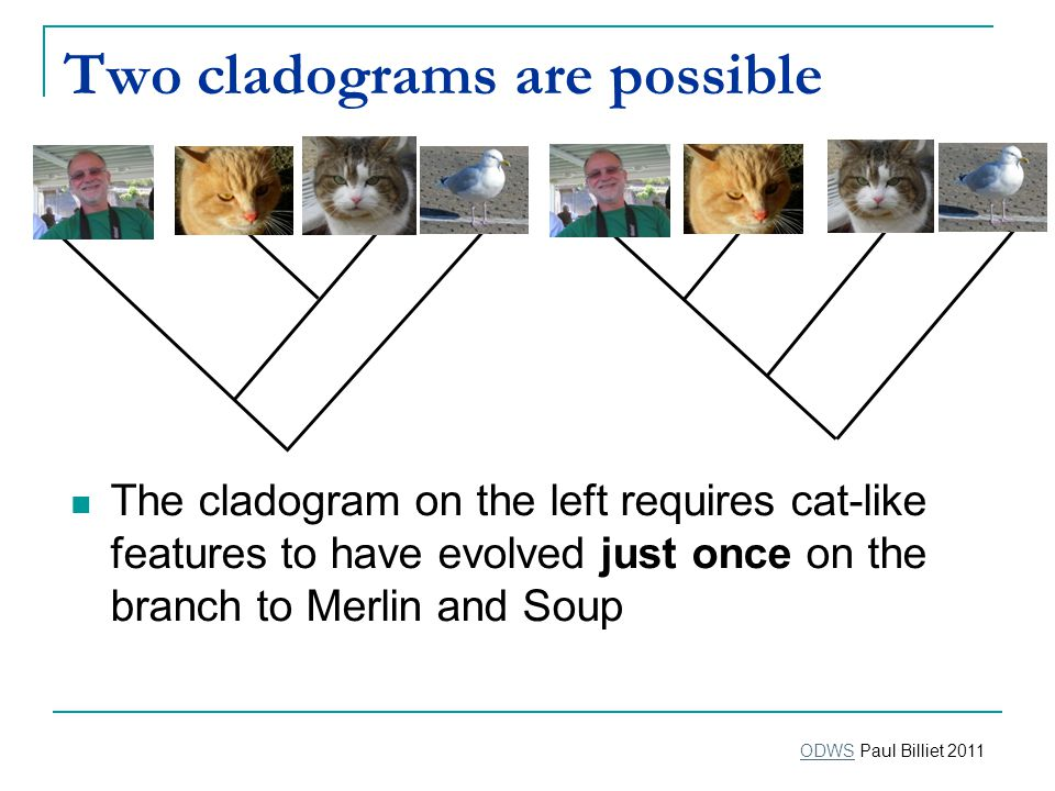 Two cladograms are possible The cladogram on the left requires cat-like features to have evolved just once on the branch to Merlin and Soup ODWSODWS Paul Billiet 2011