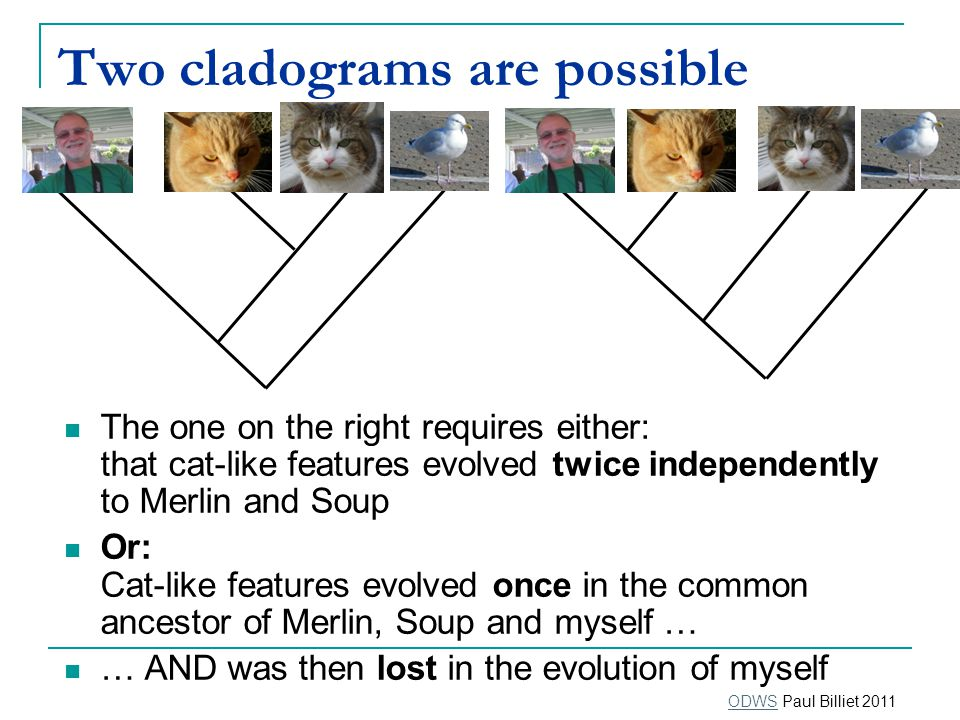 Two cladograms are possible The one on the right requires either: that cat-like features evolved twice independently to Merlin and Soup Or: Cat-like features evolved once in the common ancestor of Merlin, Soup and myself … … AND was then lost in the evolution of myself ODWSODWS Paul Billiet 2011