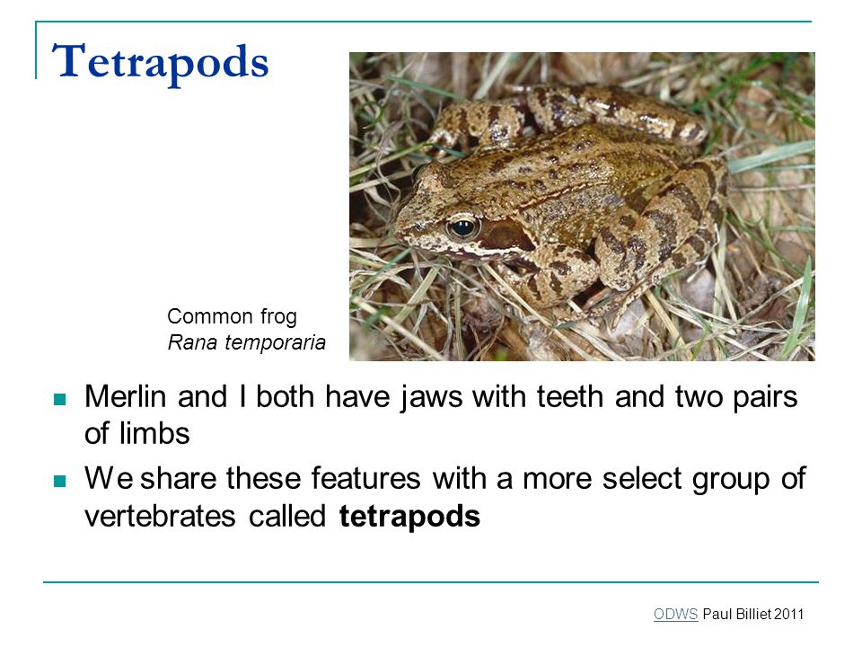 Tetrapods Merlin and I both have jaws with teeth and two pairs of limbs We share these features with a more select group of vertebrates called tetrapods Common frog Rana temporaria ODWSODWS Paul Billiet 2011