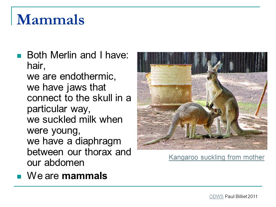 Mammals Both Merlin and I have: hair, we are endothermic, we have jaws that connect to the skull in a particular way, we suckled milk when were young, we have a diaphragm between our thorax and our abdomen We are mammals Kangaroo suckling from mother ODWSODWS Paul Billiet 2011