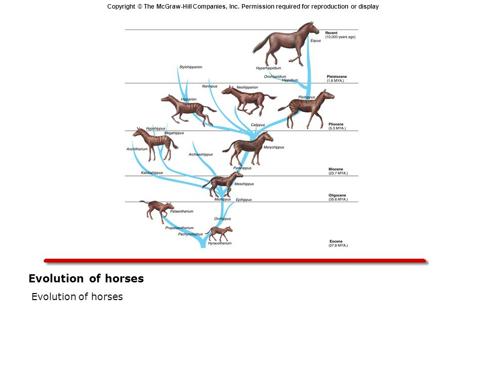 Copyright © The McGraw-Hill Companies, Inc. Permission required for reproduction or display Evolution of horses  Evolution of horses
