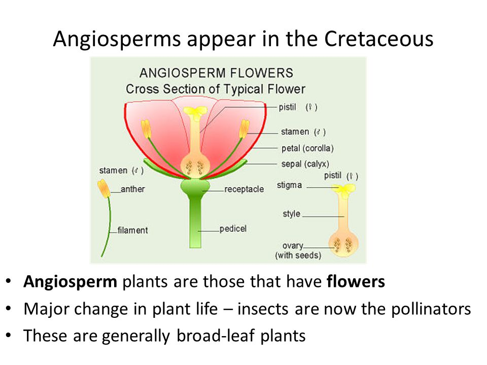 Angiosperms appear in the Cretaceous Angiosperm plants are those that have flowers Major change in plant life – insects are now the pollinators These