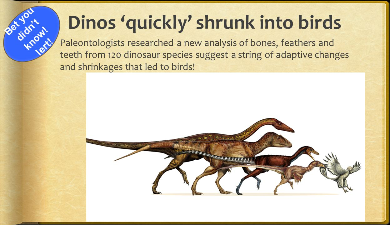 Dinos 'quickly' shrunk into birds  Paleontologists researched a new analysis of bones, feathers and teeth from 120 dinosaur species suggest a string of adaptive changes and shrinkages that led to birds.