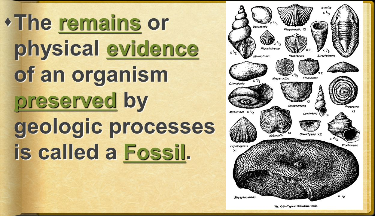 The remains or physical evidence of an organism preserved by geologic processes is called a Fossil.