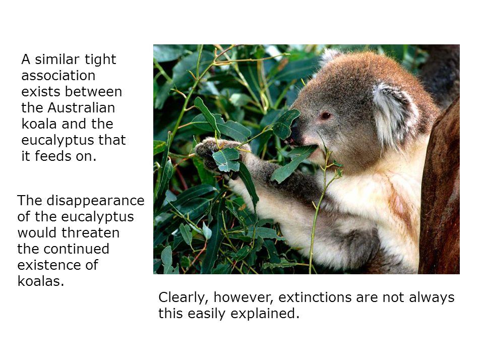 A similar tight association exists between the Australian koala and the eucalyptus that it feeds on.