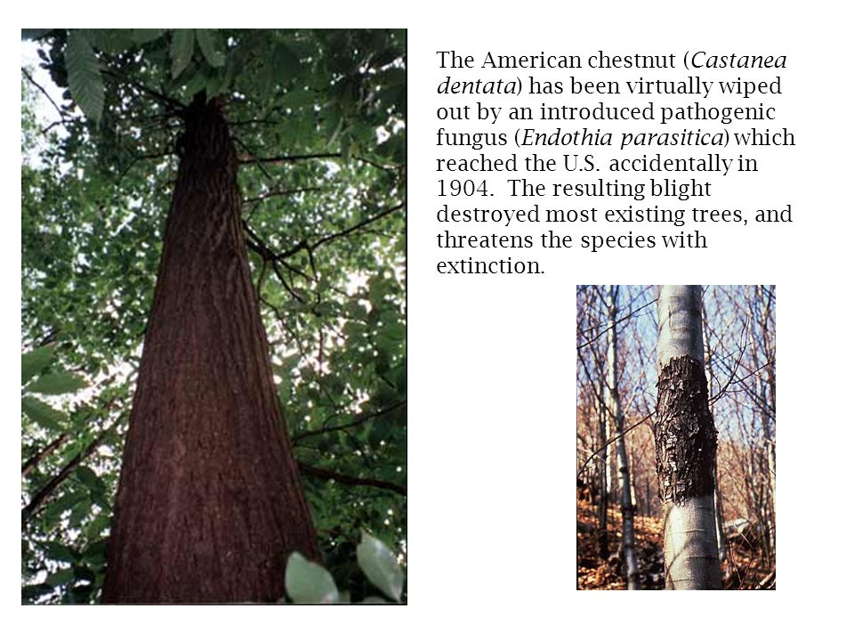 The American chestnut (Castanea dentata) has been virtually wiped out by an introduced pathogenic fungus (Endothia parasitica) which reached the U.S.