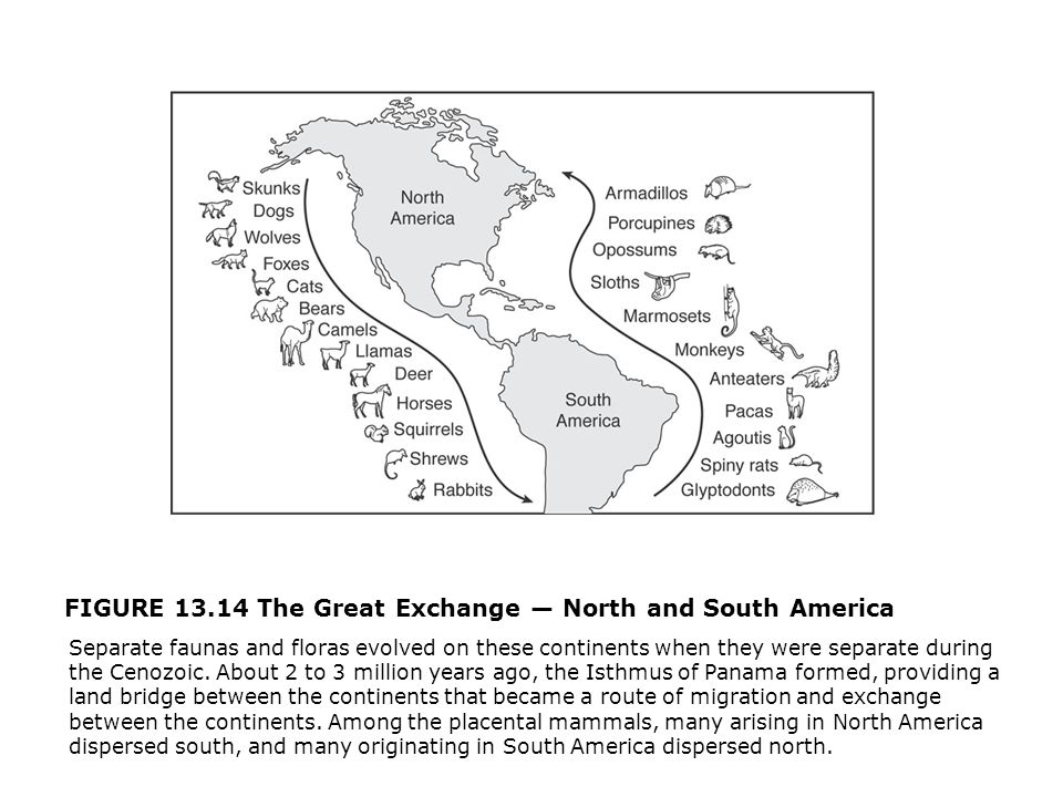 FIGURE 13.14 The Great Exchange — North and South America  Separate faunas and floras evolved on these continents when they were separate during the Cenozoic.