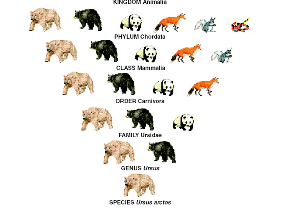 Copyright © 2003 Pearson Education, Inc. publishing as Benjamin Cummings Taxonomy of the Grizzly