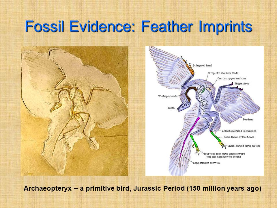 Fossil Evidence: Feather Imprints Archaeopteryx – a primitive bird, Jurassic Period (150 million years ago)