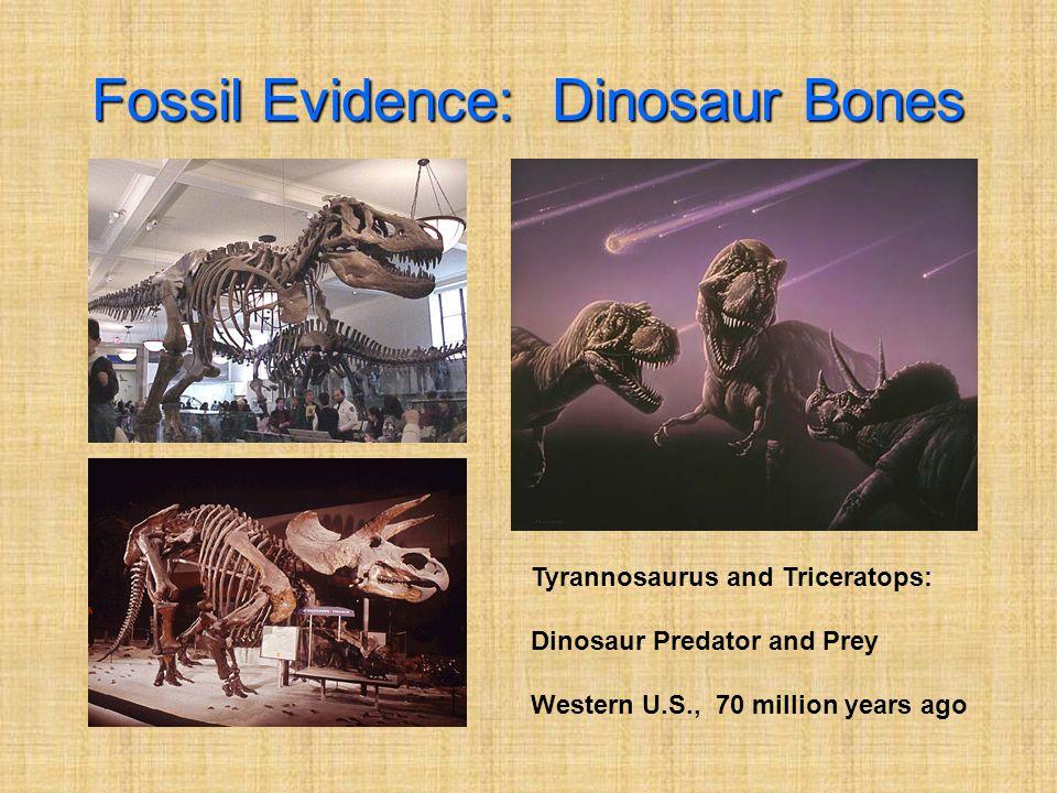 Fossil Evidence: Dinosaur Bones Tyrannosaurus and Triceratops: Dinosaur Predator and Prey Western U.S., 70 million years ago