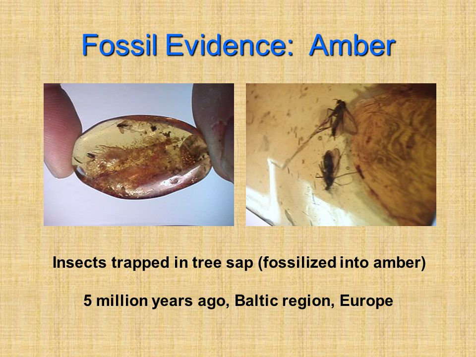 Fossil Evidence: Amber Insects trapped in tree sap (fossilized into amber) 5 million years ago, Baltic region, Europe