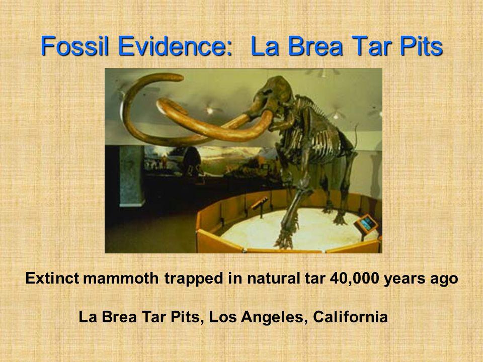 Fossil Evidence: La Brea Tar Pits Extinct mammoth trapped in natural tar 40,000 years ago La Brea Tar Pits, Los Angeles, California