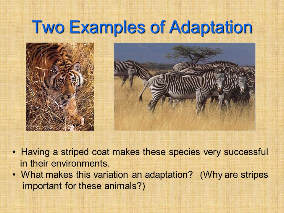 Two Examples of Adaptation Having a striped coat makes these species very successful in their environments.
