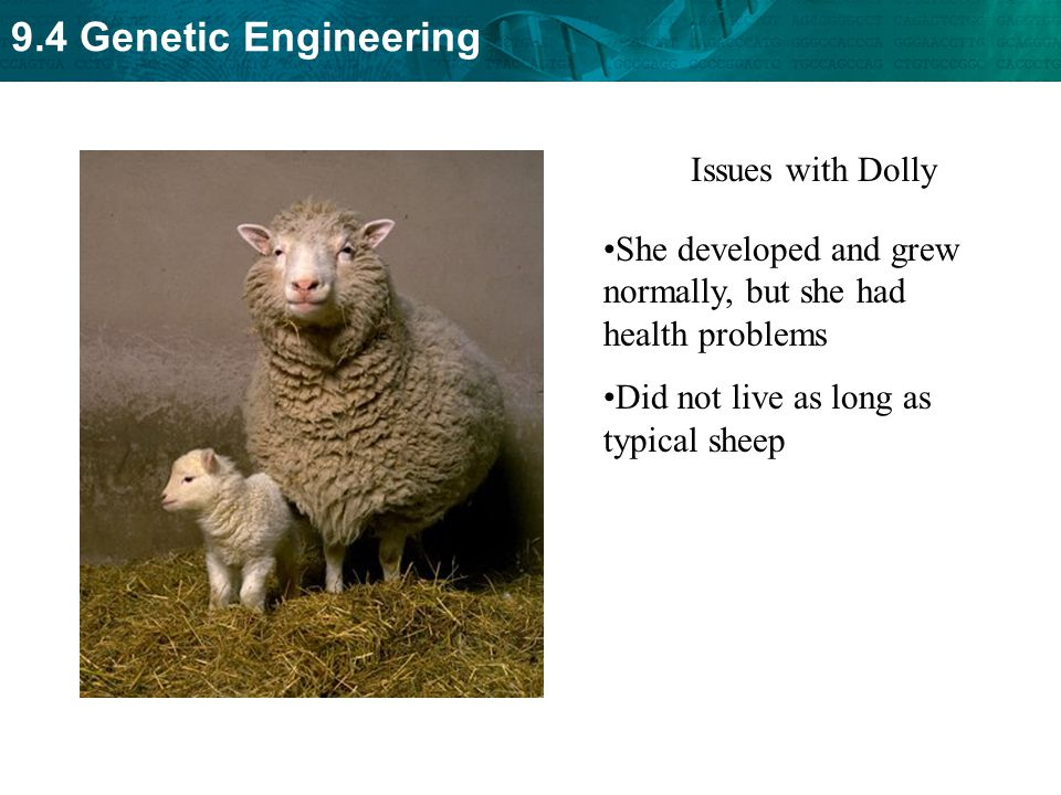 9.4 Genetic Engineering Issues with Dolly She developed and grew normally, but she had health problems Did not live as long as typical sheep