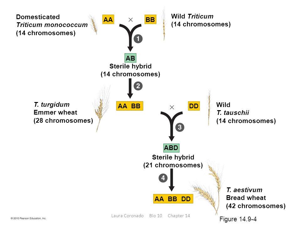Domesticated Triticum monococcum (14 chromosomes) T. turgidum Emmer wheat (28 chromosomes) Wild T. tauschii (14 chromosomes) Wild Triticum (14 chromos