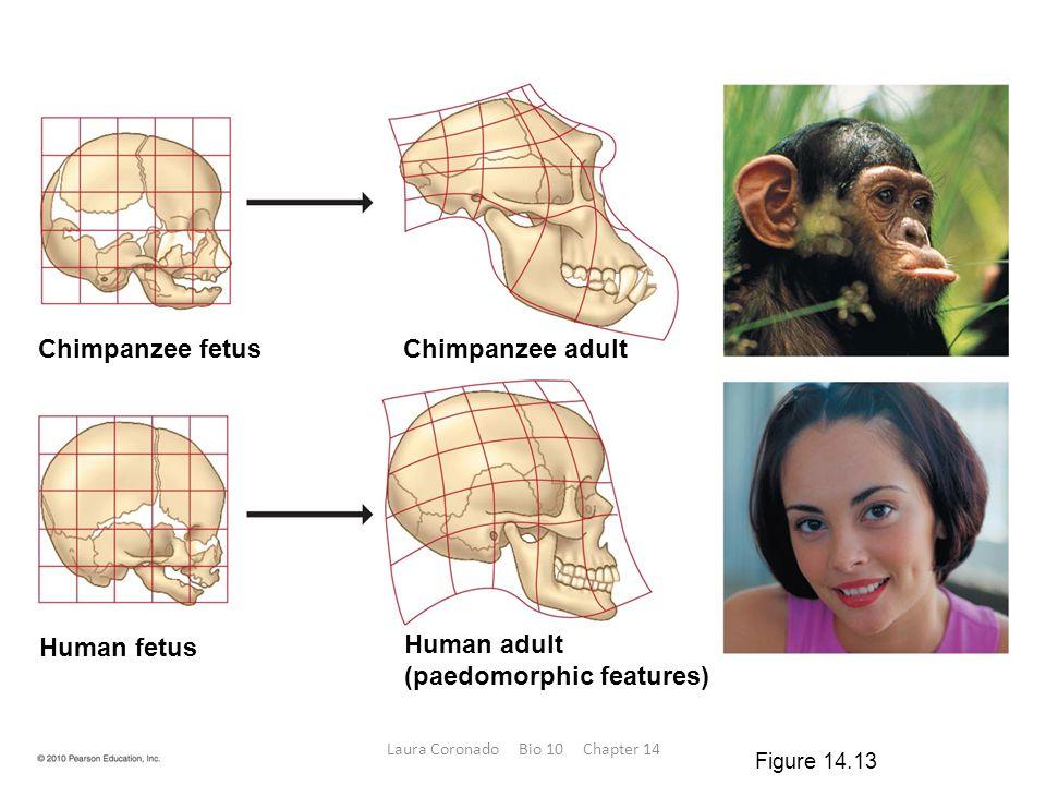 Chimpanzee fetus Chimpanzee adult Human adult (paedomorphic features) Human fetus Figure 14.13 Laura Coronado Bio 10 Chapter 14