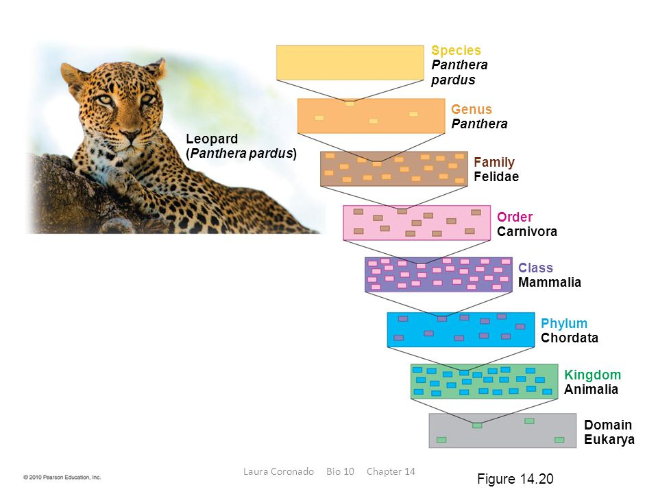 Leopard (Panthera pardus) Species Panthera pardus Genus Panthera Family Felidae Order Carnivora Class Mammalia Phylum Chordata Kingdom Animalia Domain