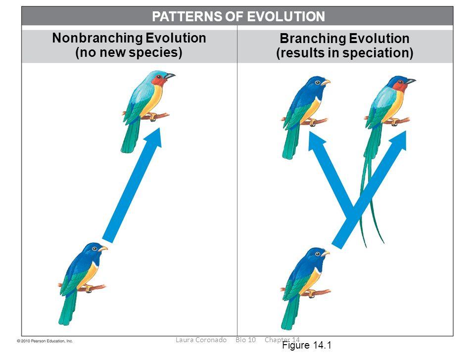 Branching Evolution (results in speciation) Nonbranching Evolution (no new species) PATTERNS OF EVOLUTION Figure 14.1 Laura Coronado Bio 10 Chapter 14