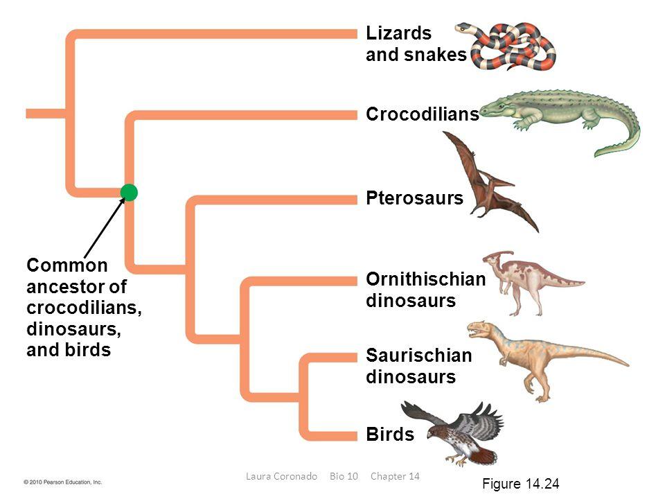 Lizards and snakes Crocodilians Saurischian dinosaurs Ornithischian dinosaurs Pterosaurs Birds Common ancestor of crocodilians, dinosaurs, and birds F