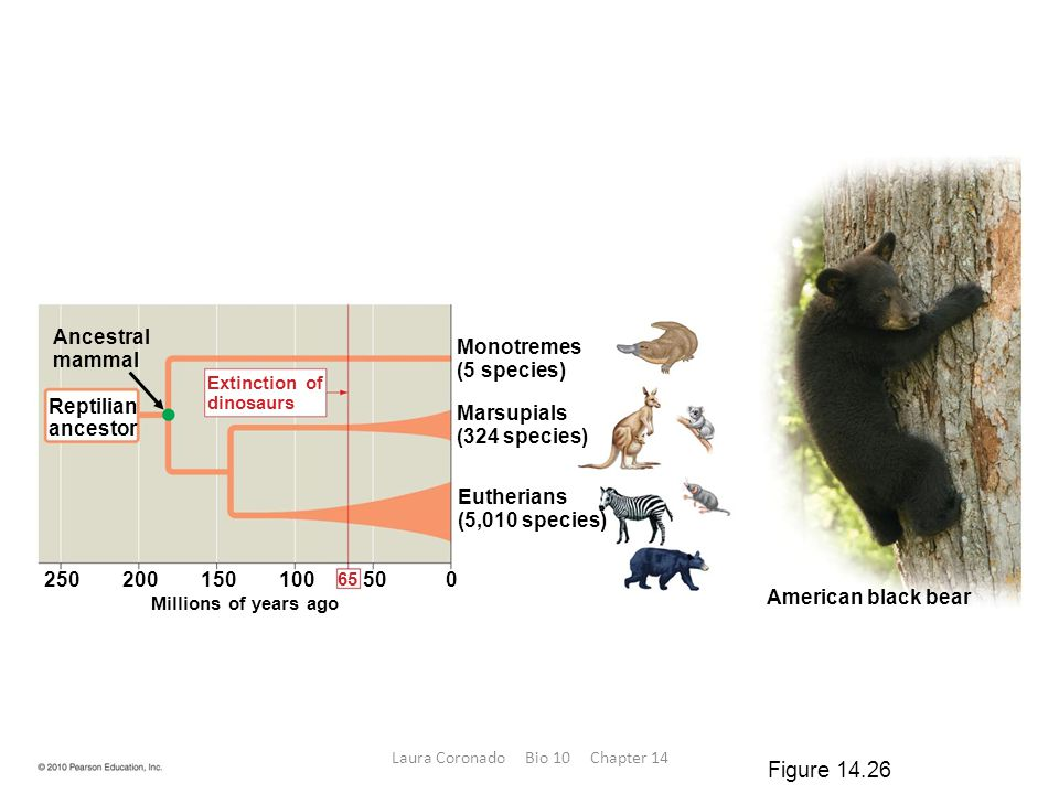 American black bear Eutherians (5,010 species) Millions of years ago Monotremes (5 species) Marsupials (324 species) Ancestral mammal Reptilian ancest