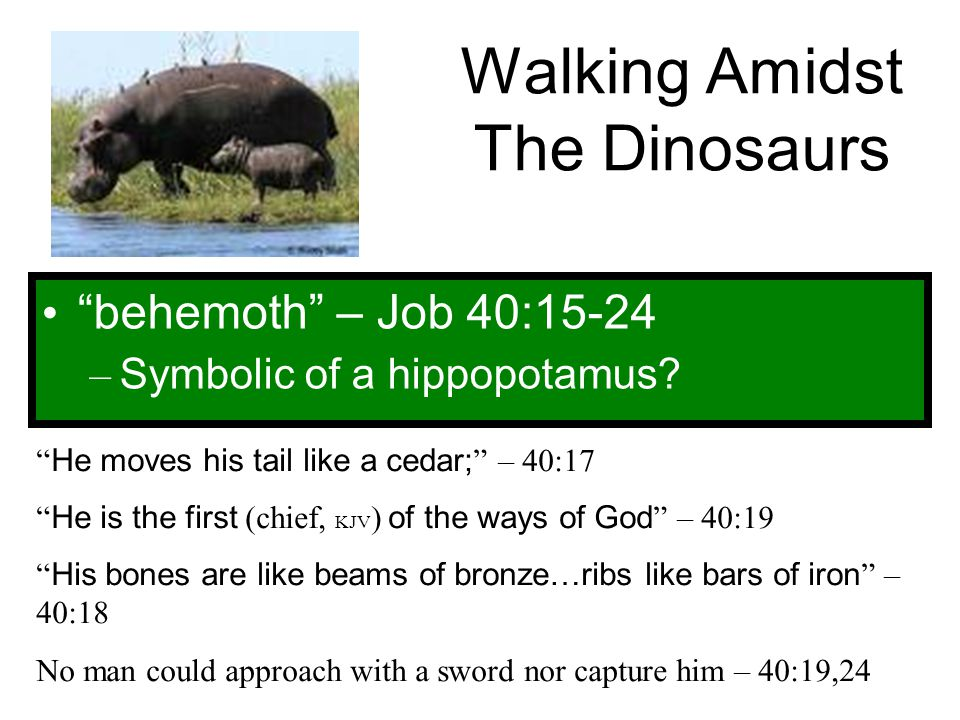 """Walking Amidst The Dinosaurs """"behemoth"""" – Job 40:15-24 – Symbolic of a hippopotamus? """" He moves his tail like a cedar; """" – 40:17 """" He is the first (ch"""