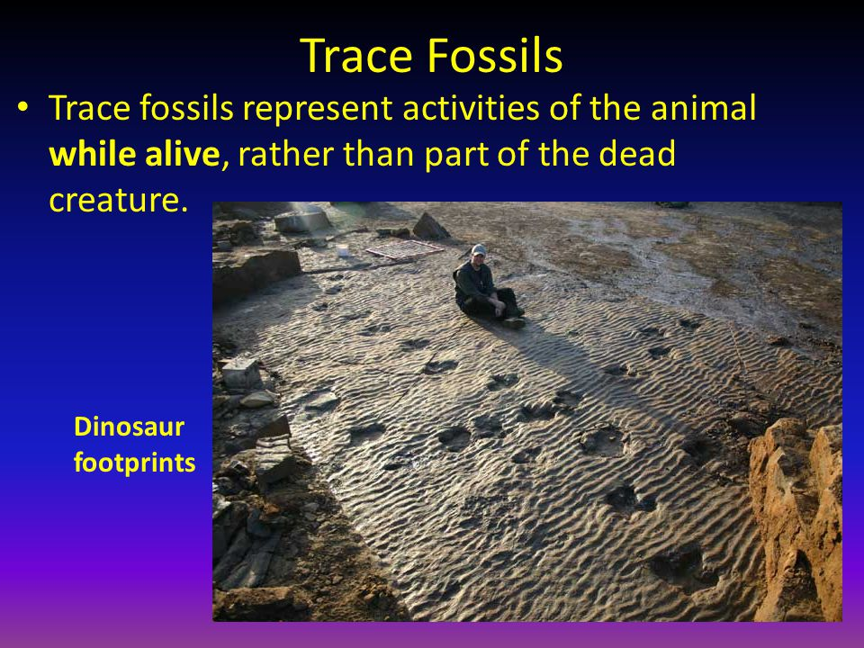 Trace Fossils Trace fossils represent activities of the animal while alive, rather than part of the dead creature. Dinosaur footprints