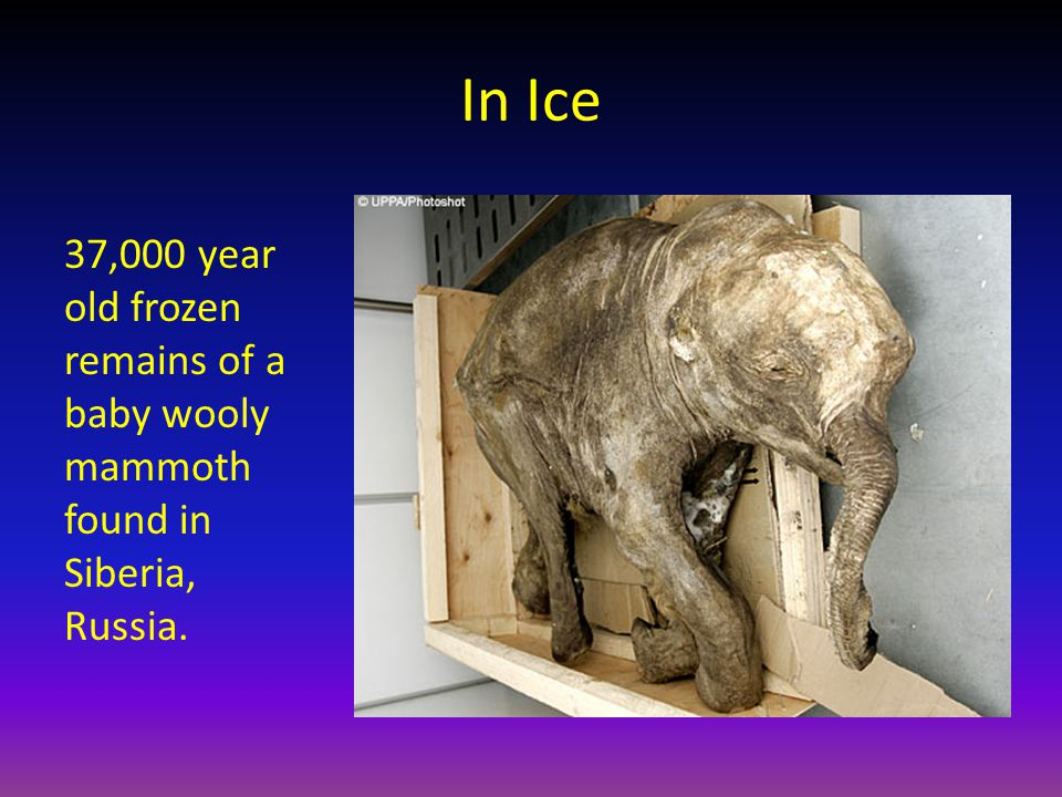 In Ice 37,000 year old frozen remains of a baby wooly mammoth found in Siberia, Russia.