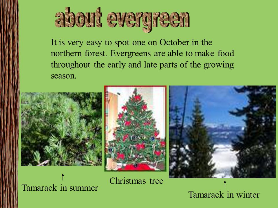 It is very easy to spot one on October in the northern forest. Evergreens are able to make food throughout the early and late parts of the growing sea