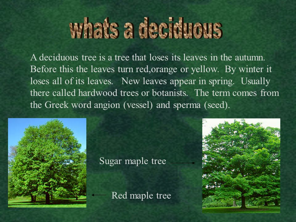 A deciduous tree is a tree that loses its leaves in the autumn. Before this the leaves turn red,orange or yellow. By winter it loses all of its leaves