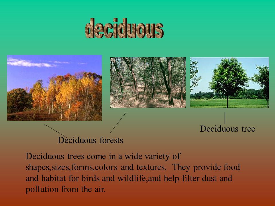 Deciduous forests Deciduous tree Deciduous trees come in a wide variety of shapes,sizes,forms,colors and textures. They provide food and habitat for b