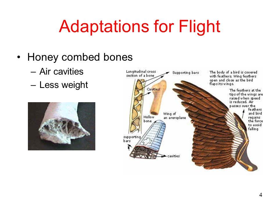 4 Adaptations for Flight Honey combed bones –Air cavities –Less weight