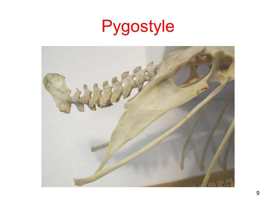39 Caudipteryx Feathered dinosaur Flightless Transitional fossil –Dinosaur arms –Dinosaur teeth Only front of upper jaw –Bird feathers