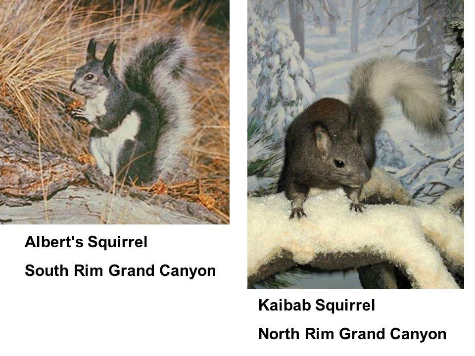 Albert's Squirrel South Rim Grand Canyon Kaibab Squirrel North Rim Grand Canyon