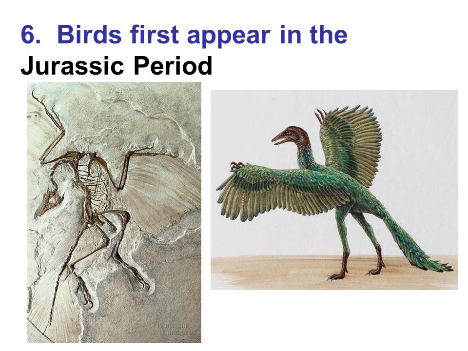 6. Birds first appear in the Jurassic Period