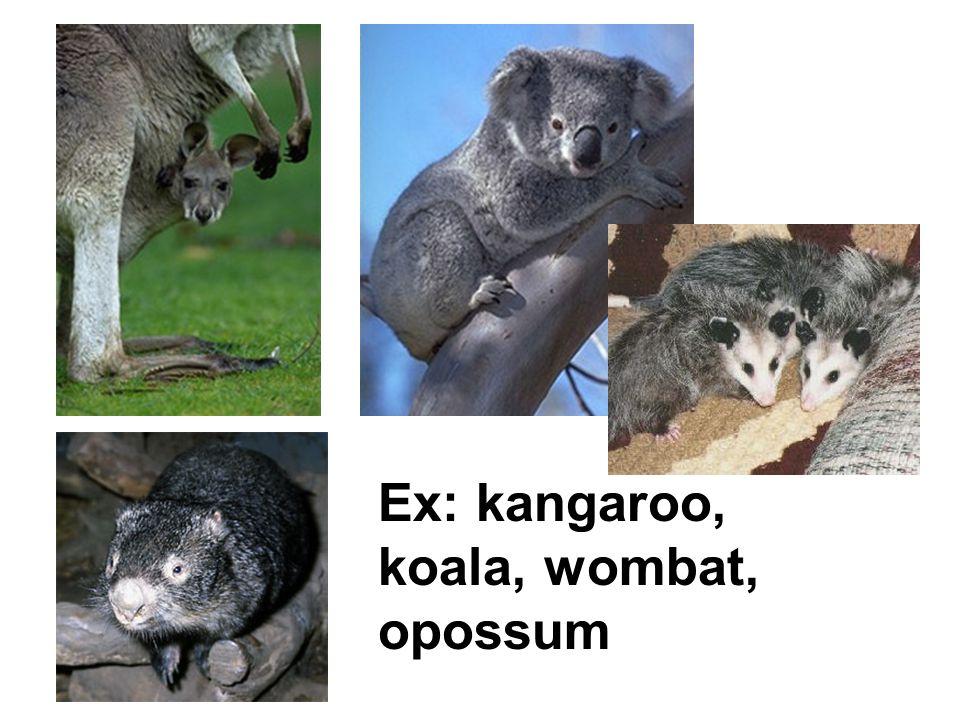 Ex: kangaroo, koala, wombat, opossum