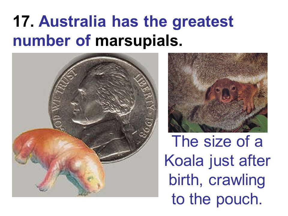 17. Australia has the greatest number of marsupials. The size of a Koala just after birth, crawling to the pouch.