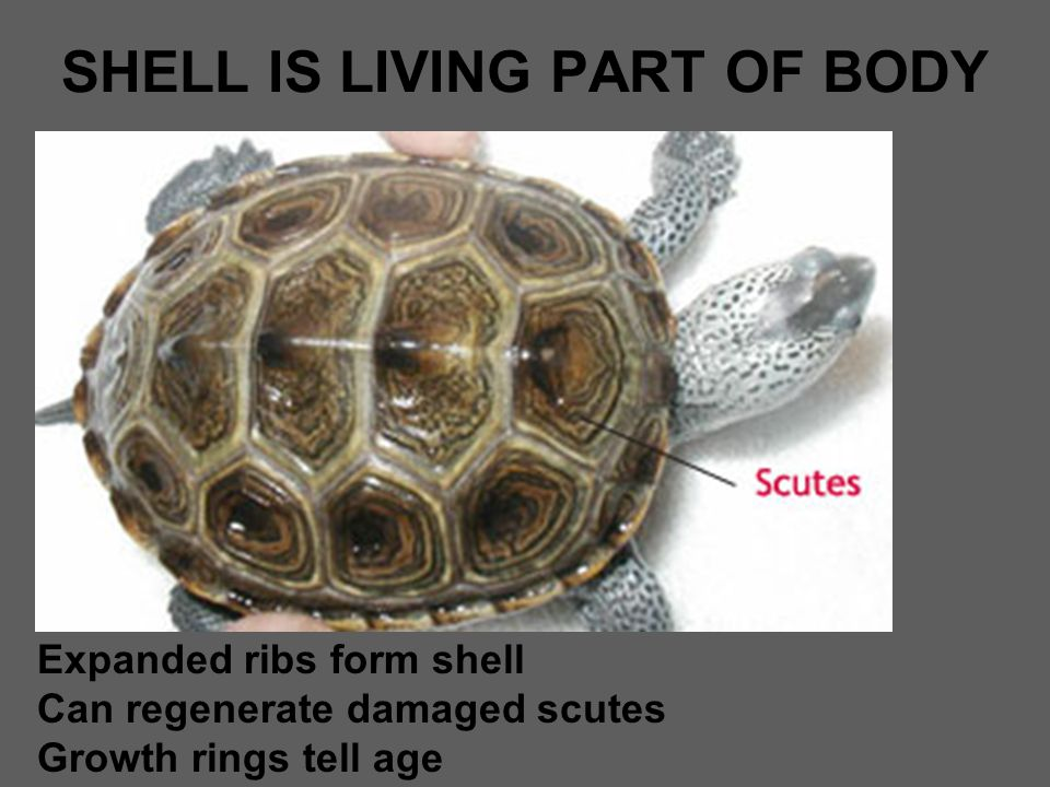 SHELL IS LIVING PART OF BODY Expanded ribs form shell Can regenerate damaged scutes Growth rings tell age